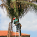 Crew member using a ladder to reach the top of a Palm Tree