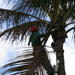 Crew Member removing dead leaves from a Palm Tree