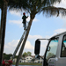 Crew member surveying a Palm Tree, with bucket truck in the foreground