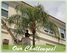 Arborcare team member giving a palm tree maintenance using a bucket truck